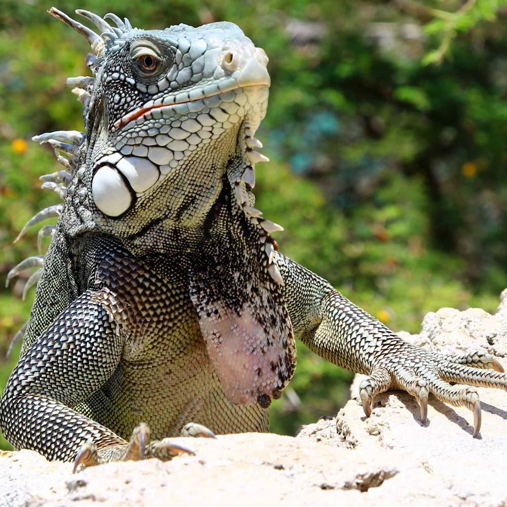 Curaçao – 101 iguanas!