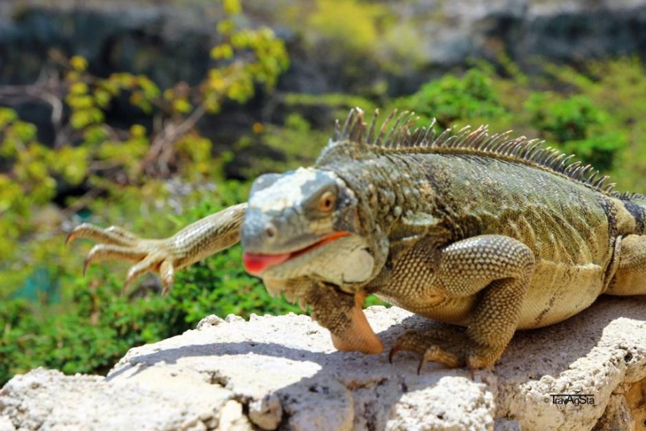 Iguanas, Curaçao