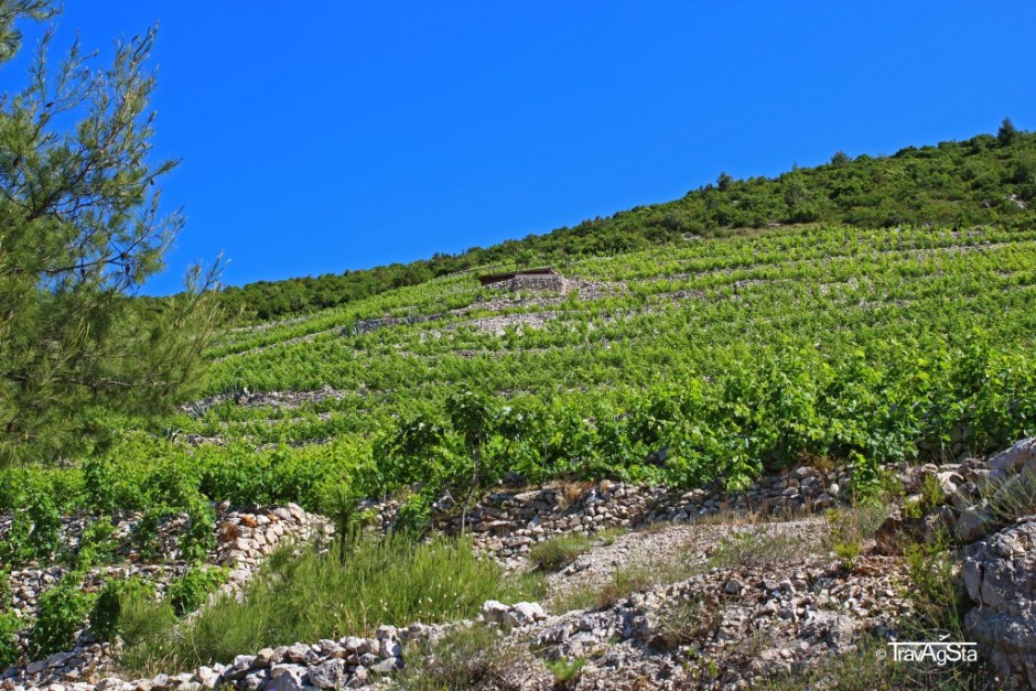 Vineyards, Croatia