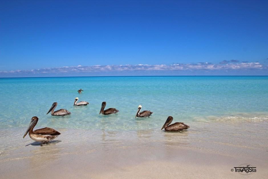 Pelicans posing for a photo - Vardero, Kuba