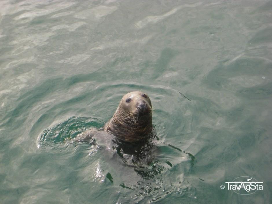 Seal, Howth, Ireland