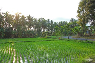 Reisfelder (7)t