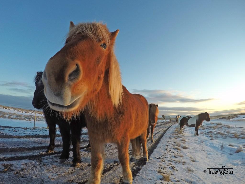 Iceland Horses, Iceland