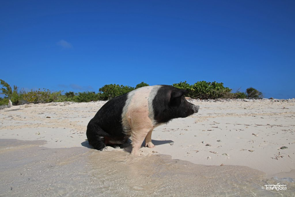 Little Pig Beach, Great Exuma, The Bahamas