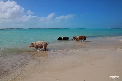 Little Pig Beach, Great Exuma, The Bahamas