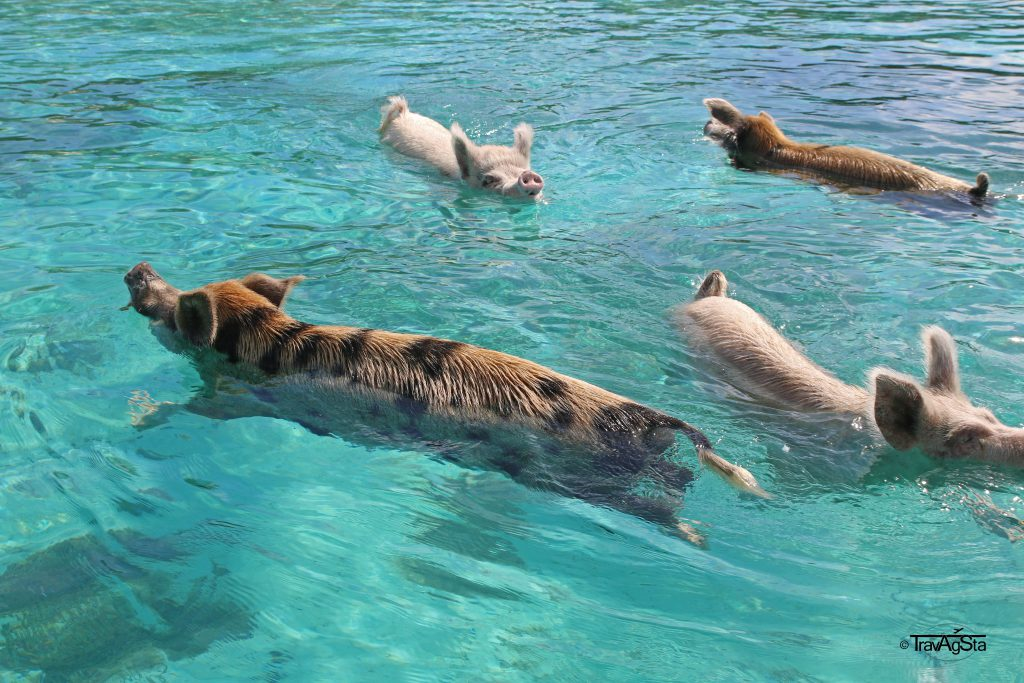 The Swimming Pigs, Big Major Cay, The Bahamas
