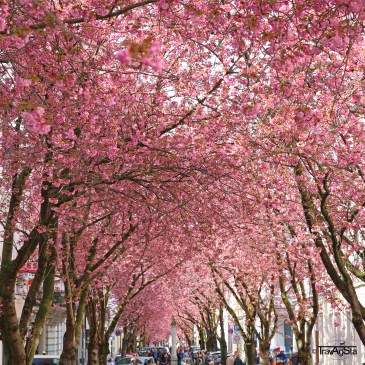 Cherry Blossom in Bonn, Drachenburg Castle and Alter Flecken in Freudenberg – Tips for an awesome spring weekend!