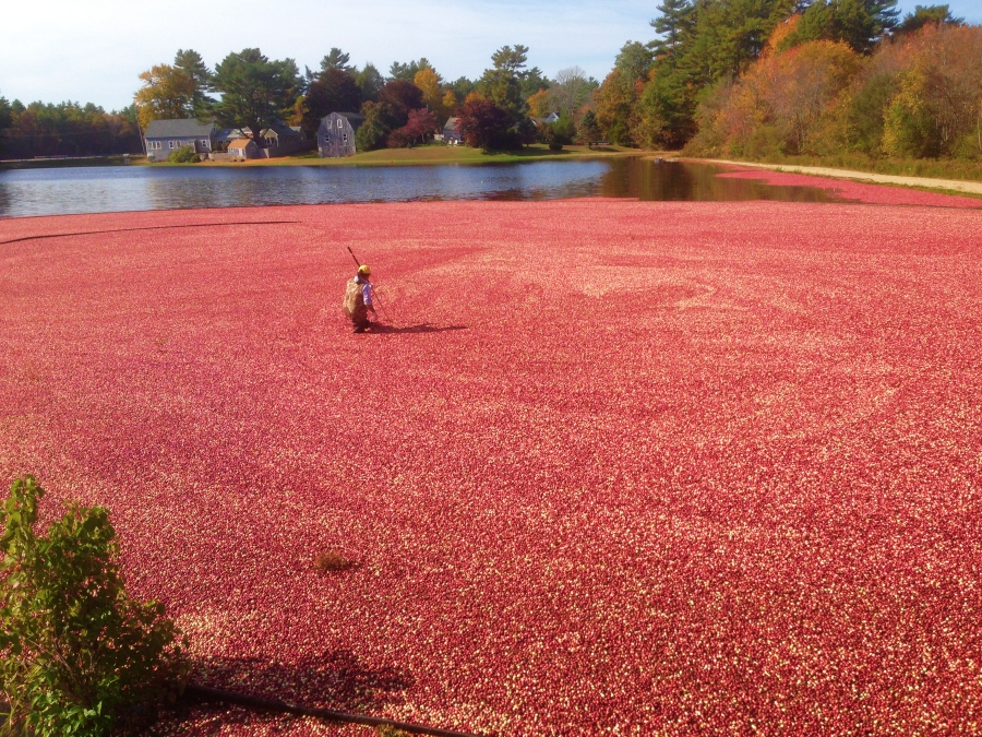Cranberry Bogs, courtesy of TravelCollecting