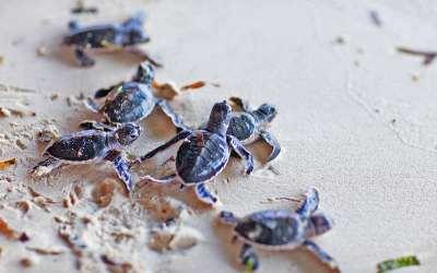 Želví farma na Srí Lance – dobrovolničení v Kosgodě