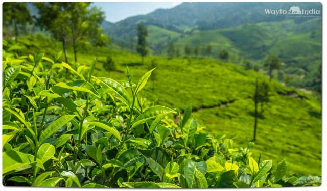 Tea Plantations in India : Darjeeling