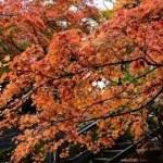 【一人旅】美しき紅葉に惚れ惚れ【写真集】