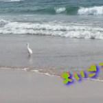 【ひとり旅】【感動】波打ち際で迷子になってる白鳥が200%可愛すぎて・・・