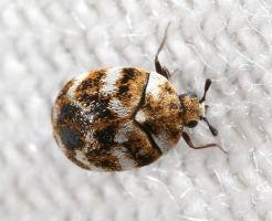 カツオブシムシ 幼虫 ベッド 発生源 駆除