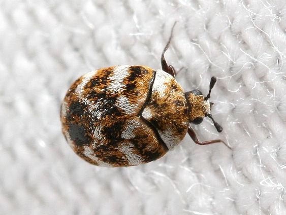 ヒメマルカツオブシムシ 幼虫 成虫 駆除