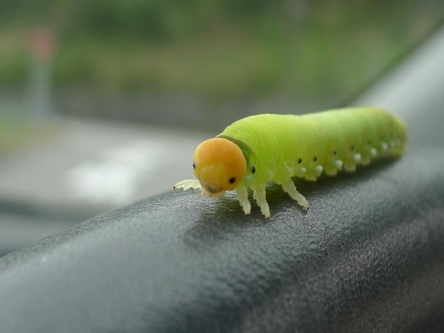 ハバチ 幼虫 可愛い