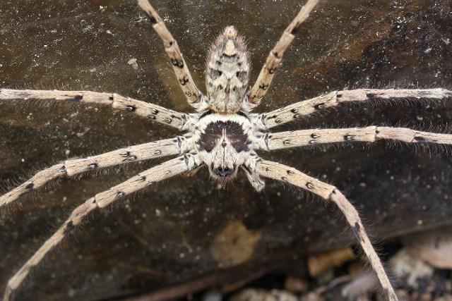 アシダカグモ 益虫 懐く 糸 卵 ネズミ ゴキブリ 幼虫
