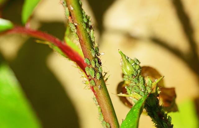 アブラムシ 羽 飛ぶ 片栗粉スプレー 種類