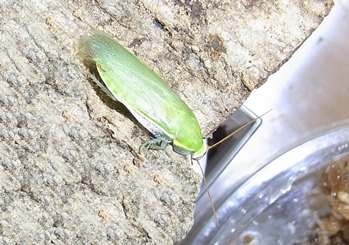 カマドウマ 緑 卵 鳴き声 ごきぶり