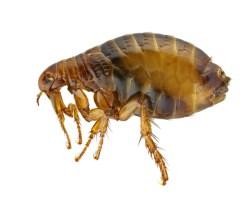 ノミ 寿命 種類 幼虫 噛まれた跡