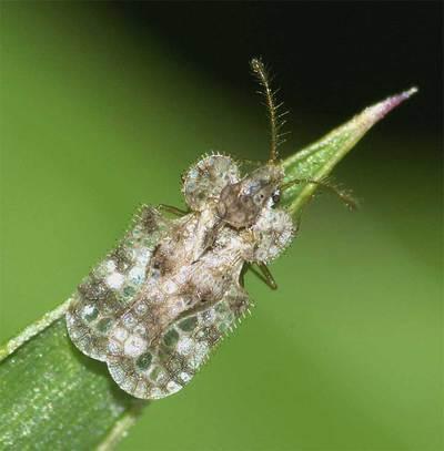 アワダチソウグンバイ 駆除 天敵 殺虫剤 越冬