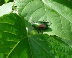 コガネムシ 幼虫 天敵 トラップ 作り方