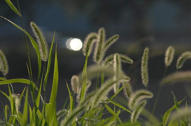 エノコログサ 食べる 花言葉 種類 特徴