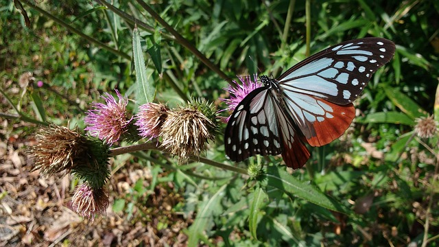 アサギマダラ 好きな花 フジバカマ 食草 寿命