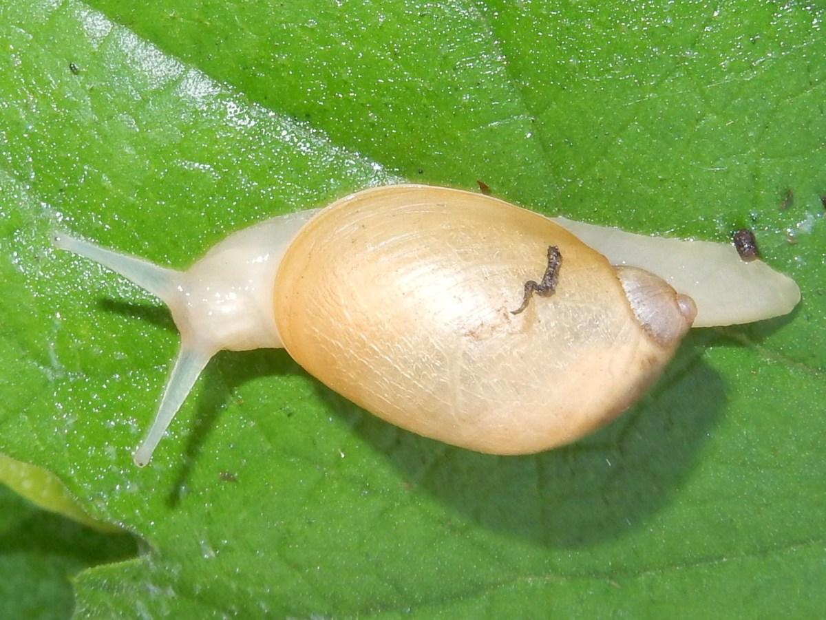 虫 タニシ 寄生