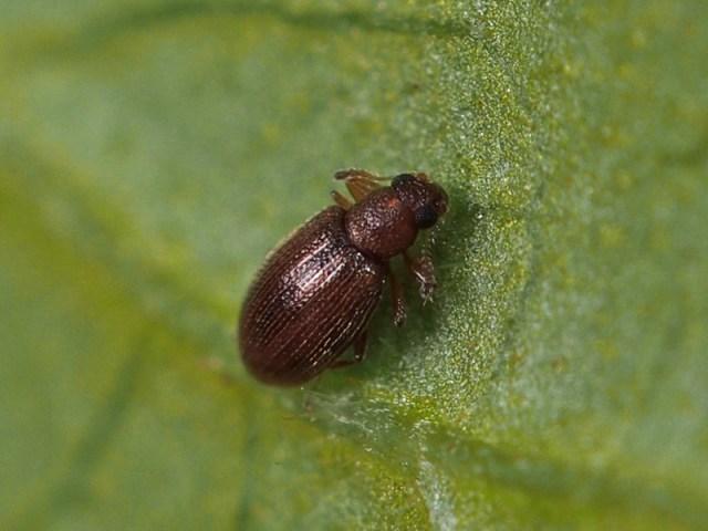 ヒメマキムシ 駆除 発生時期 発生源 幼虫