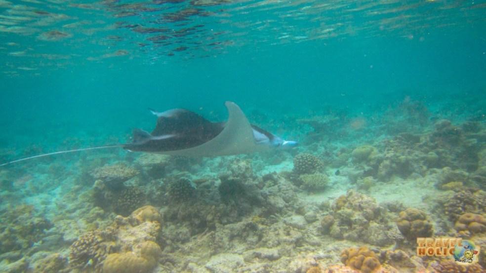 Raie manta en snorkeling au Constance Halaveli