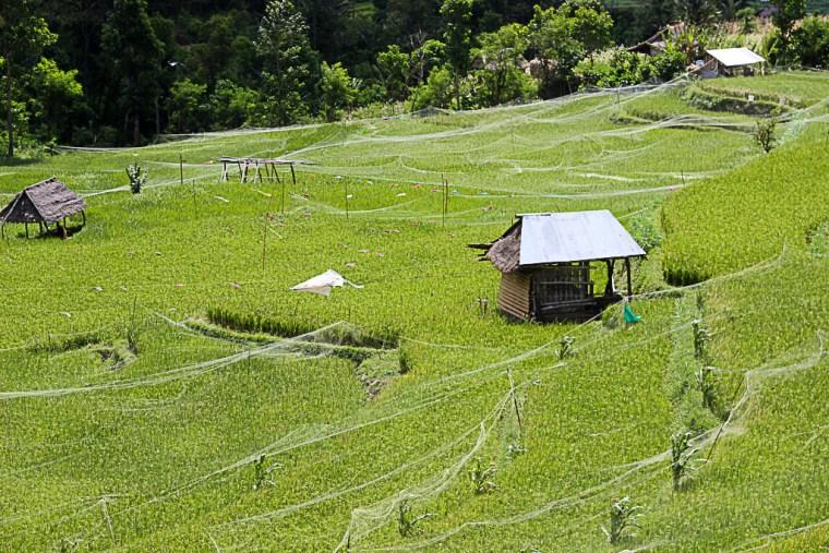 rrice-terraces-amed-bali
