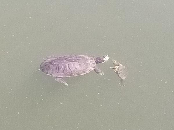副池オアシス公園の亀