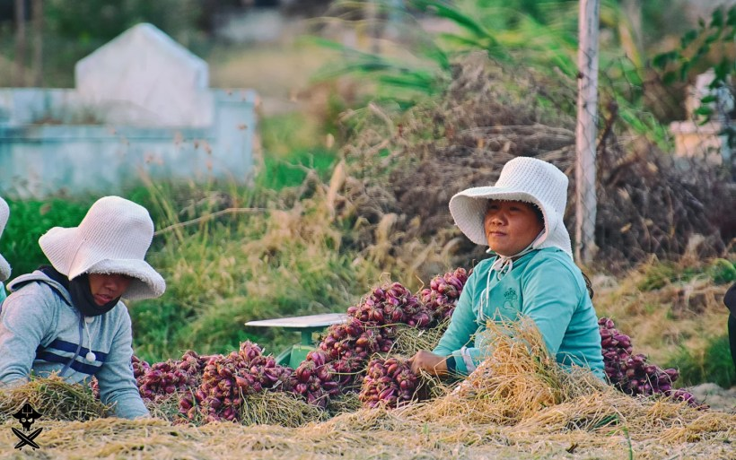 portrait of vietnamese women collecting fresh onion on the field in phan rang, vietnam