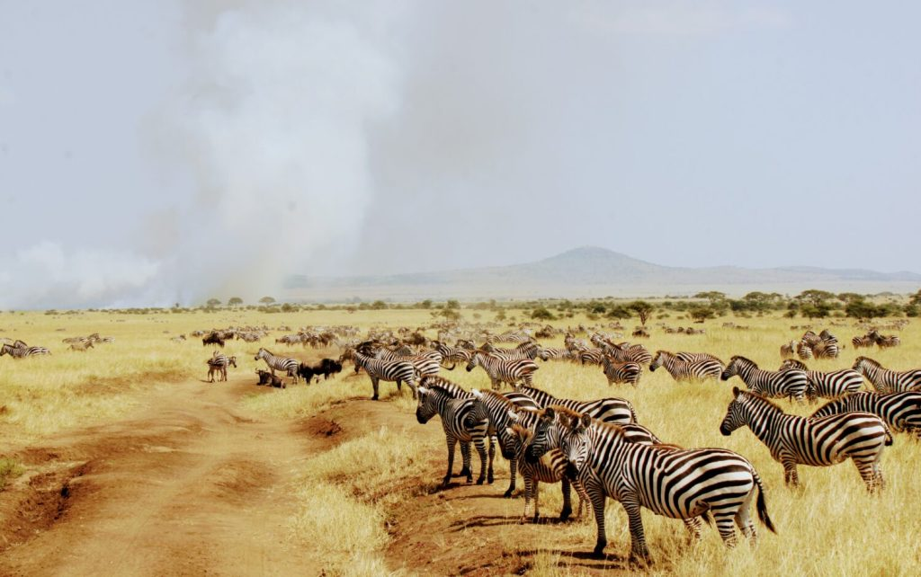 zebra in the serengeti, yellow fever vaccinations in korea