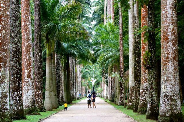 An avenue of Royal Palms