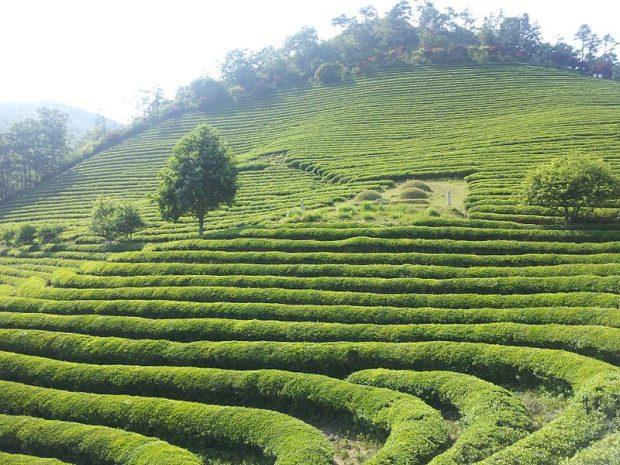 Green Tea Symmetry