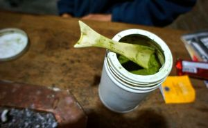 Ground coca leaves