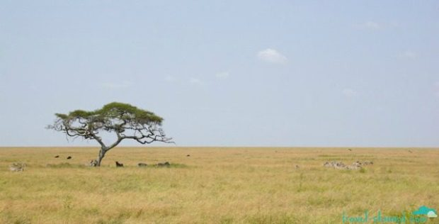 A lone tree stands out amongst a sea of grass in the Serengeti