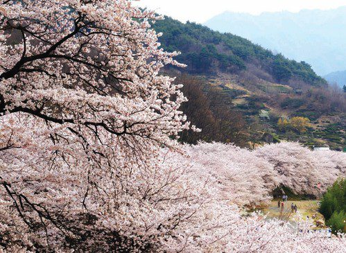 """Hwagae Cherry Blossom"" by Republic of Korea"