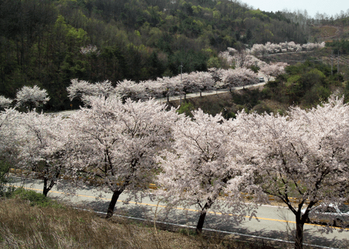 korea cherry blossoms, spring in korea,sakura korea, south korea cherry blossom, cherry blossom festivals korea