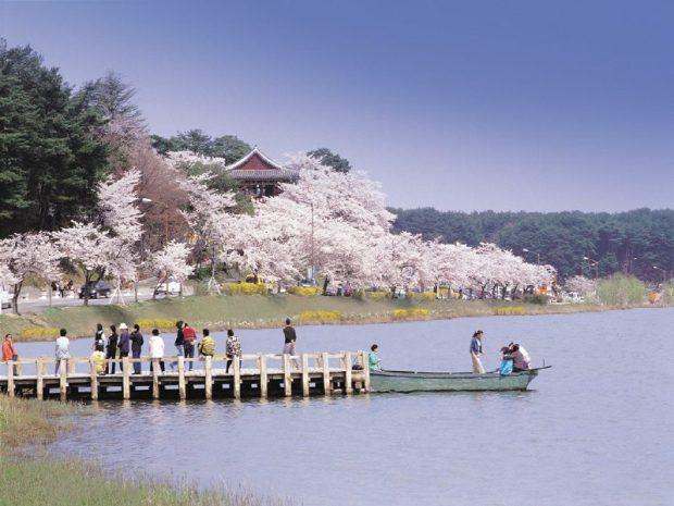 Korea's cherry blossoms next to Gyeongpo Lake, spring in korea, gyeongpo cherry blossom festival