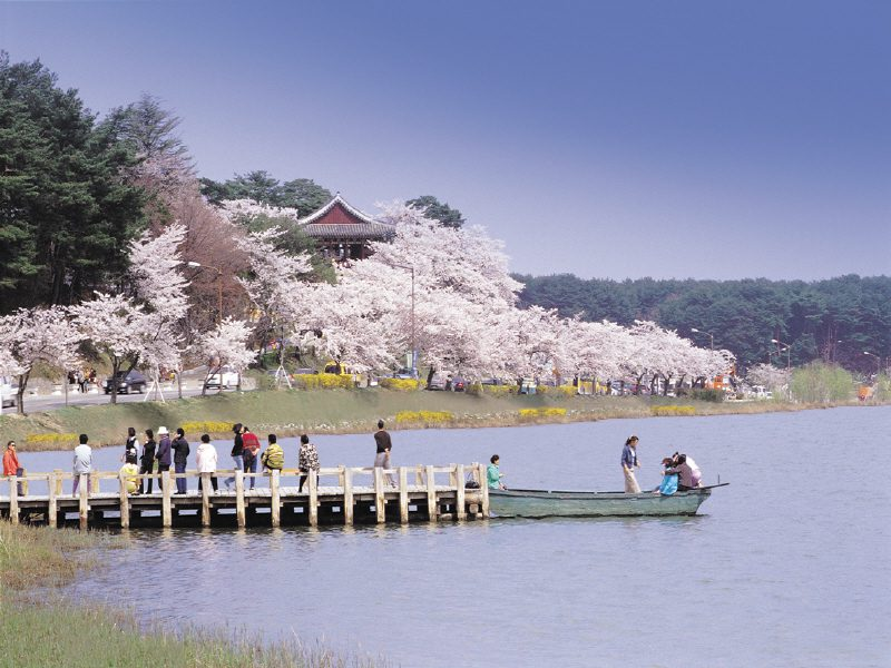 """Gyeongpo Cherry Blossom,"" by gangwon.to"