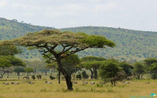 Yup...tree-climbing lions