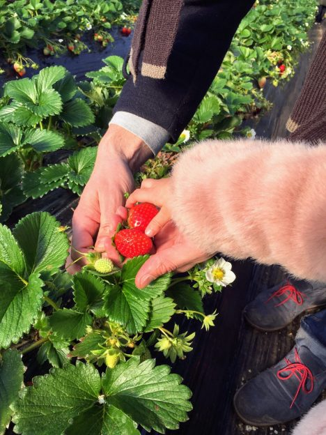 strawberry picking korea