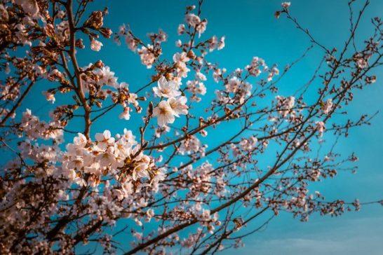 cherry blossoms at yangjaecheon stream