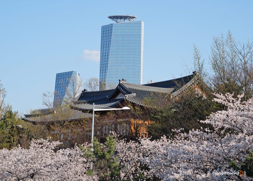Korea's Cherry Blossoms | When + where to see them at their