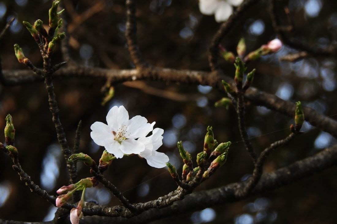 cherry blossoms in korea