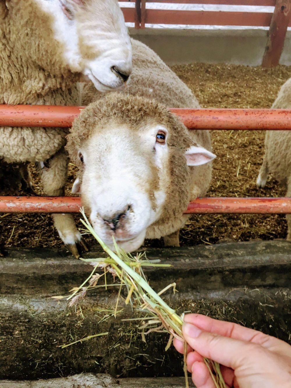 a sheep at daegwallyeong sheep farm