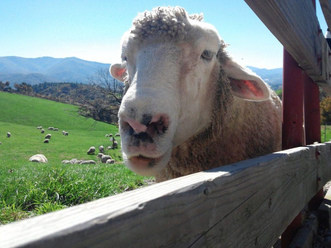 sheep at daegwallyeong sheep ranch