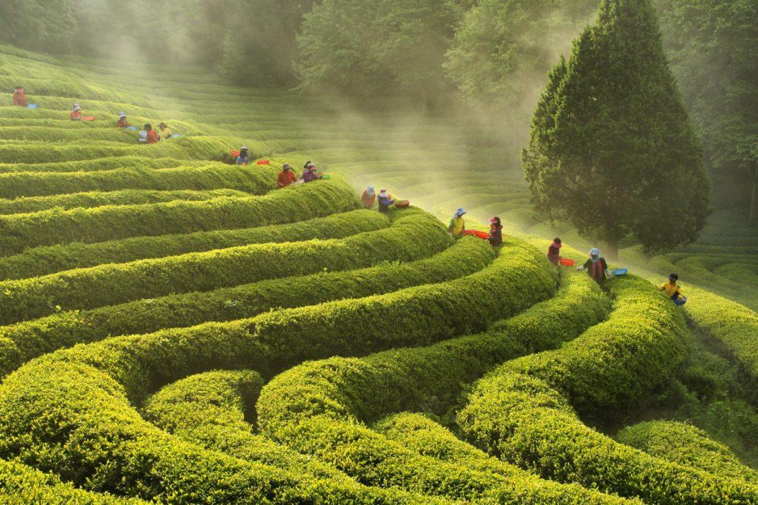 boseong green tea field in spring